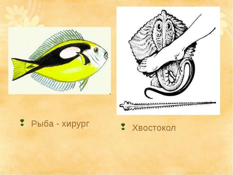 Рыба - хирург Хвостокол