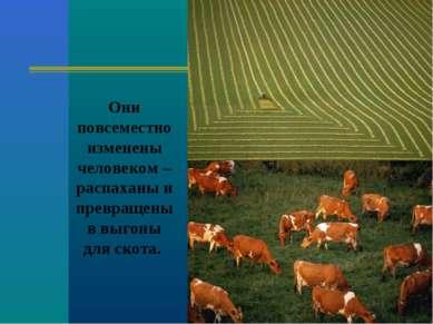 Они повсеместно изменены человеком – распаханы и превращены в выгоны для скота.