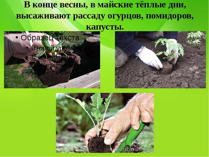 В конце весны, в майские тёплые дни, высаживают рассаду огурцов, помидоров, к...