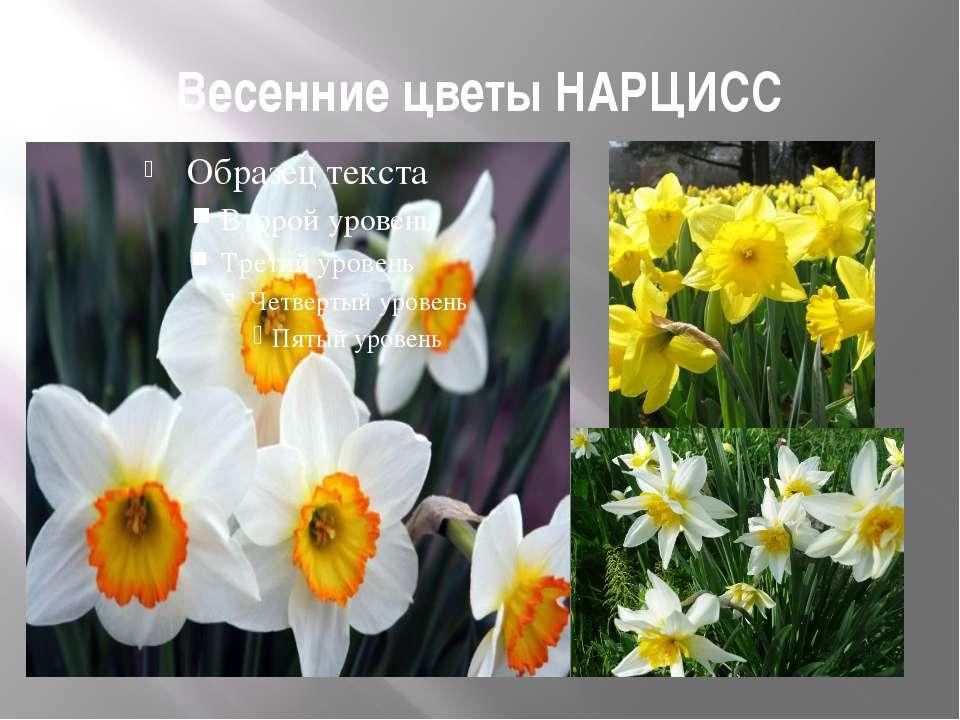 Весенние цветы НАРЦИСС