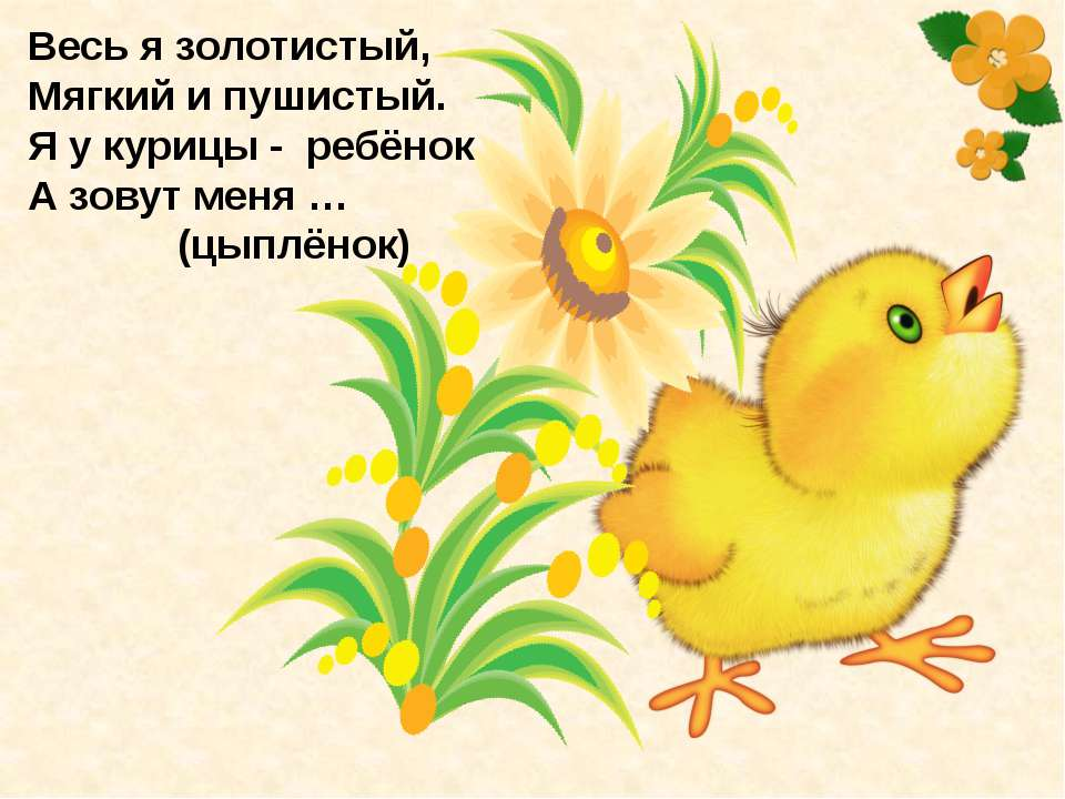 Весь я золотистый, Мягкий и пушистый. Я у курицы - ребёнок, А зовут меня … (...