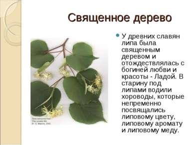 Священное дерево У древних славян липа была священным деревом и отождествляла...