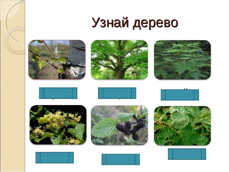 ола Узнай дерево осина