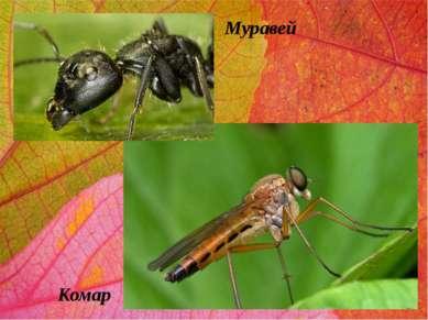 Муравей Комар