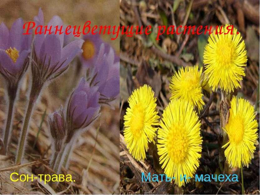 Анатольева Э.В. Раннецветущие растения. Сон-трава. Мать- и- мачеха Анатольева...
