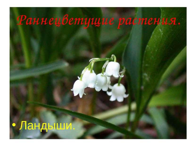 Анатольева Э.В. Раннецветущие растения. Ландыши. Анатольева Э.В.