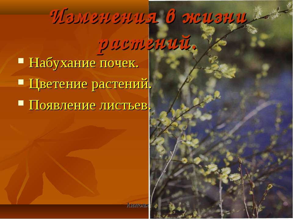 Анатольева Э.В. Изменения в жизни растений. Набухание почек. Цветение растени...