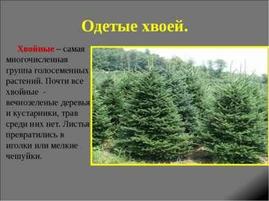Одетые хвоей. Хвойные – самая многочисленная группа голосеменных растений. По...