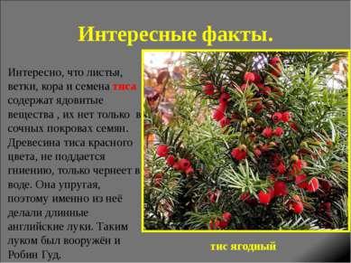 Интересные факты. Интересно, что листья, ветки, кора и семена тиса содержат я...