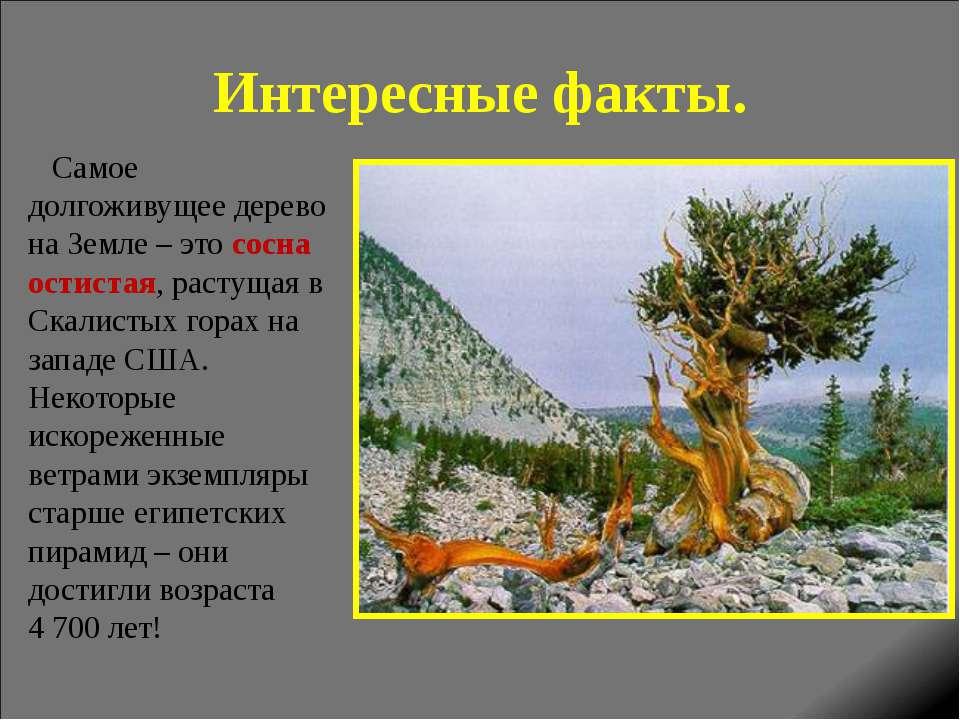 Интересные факты. Самое долгоживущее дерево на Земле – это сосна остистая, ра...