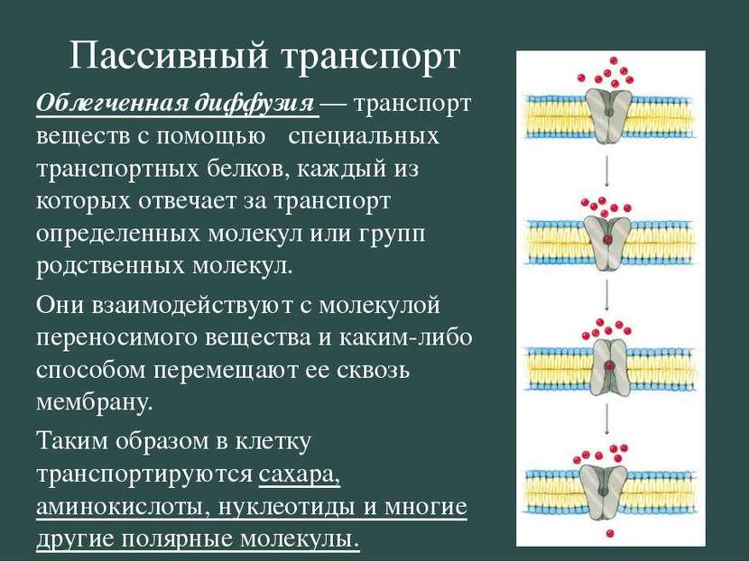 Пассивный транспорт Облегченная диффузия — транспорт веществ с помощью специа...
