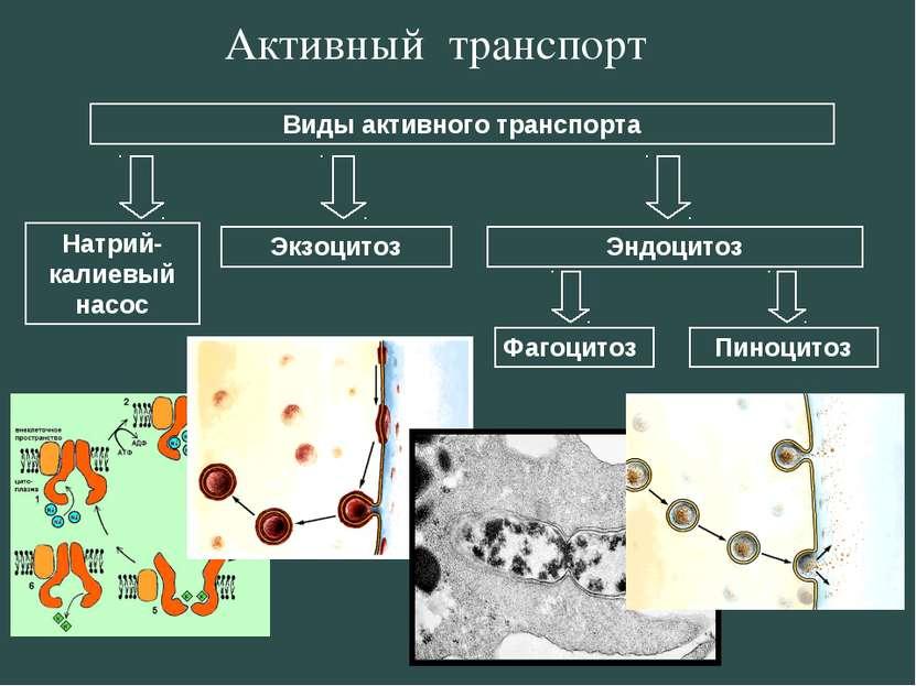 Активный транспорт Виды активного транспорта Натрий-калиевый насос Экзоцитоз ...