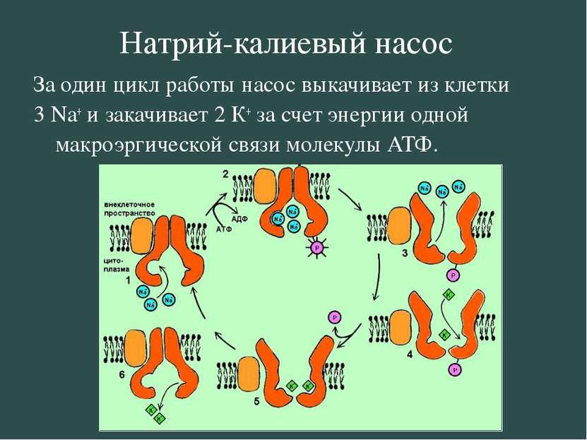 Натрий-калиевый насос За один цикл работы насос выкачивает из клетки 3 Na+ и ...