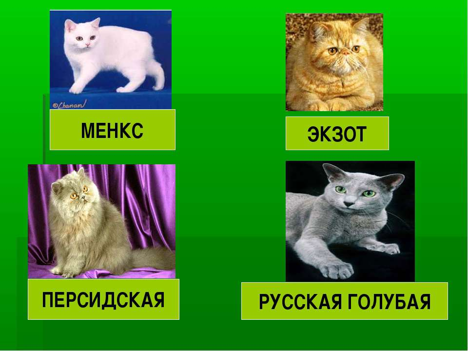 ПЕРСИДСКАЯ РУССКАЯ ГОЛУБАЯ ЭКЗОТ МЕНКС
