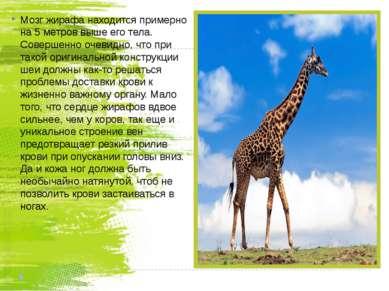 Мозг жирафа находится примерно на 5 метров выше его тела. Совершенно очевидно...