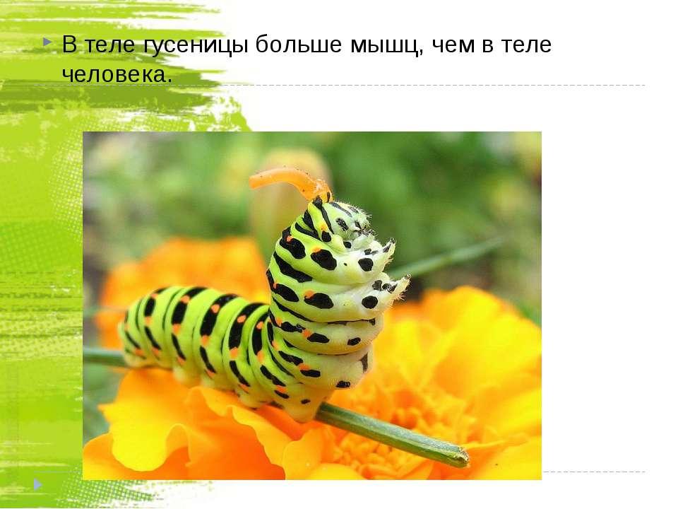 В теле гусеницы больше мышц, чем в теле человека.