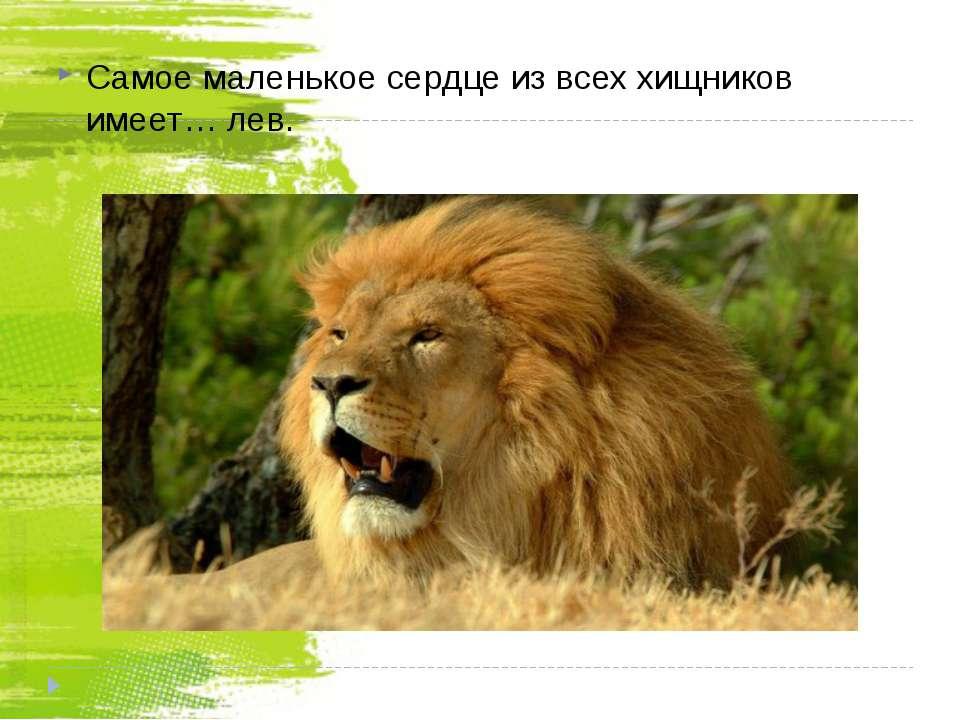Самое маленькое сердце из всех хищников имеет… лев.