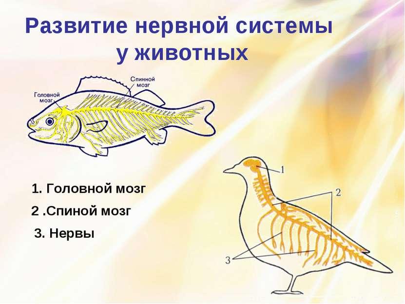 Развитие нервной системы у животных 1. Головной мозг 2 .Спиной мозг 3. Нервы