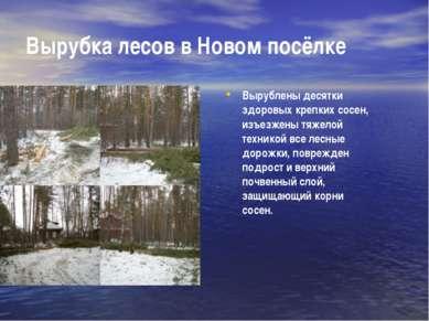 Вырубка лесов в Новом посёлке Вырублены десятки здоровых крепких сосен, изъез...