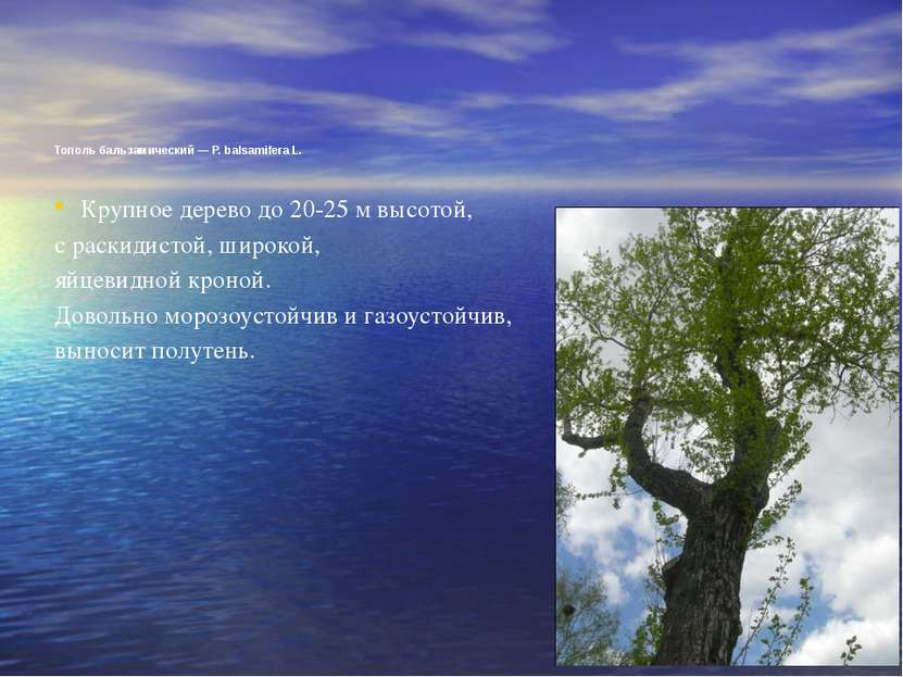 Тополь бальзамический — Р. balsamifera L. Крупное дерево до 20-25 м высотой, ...
