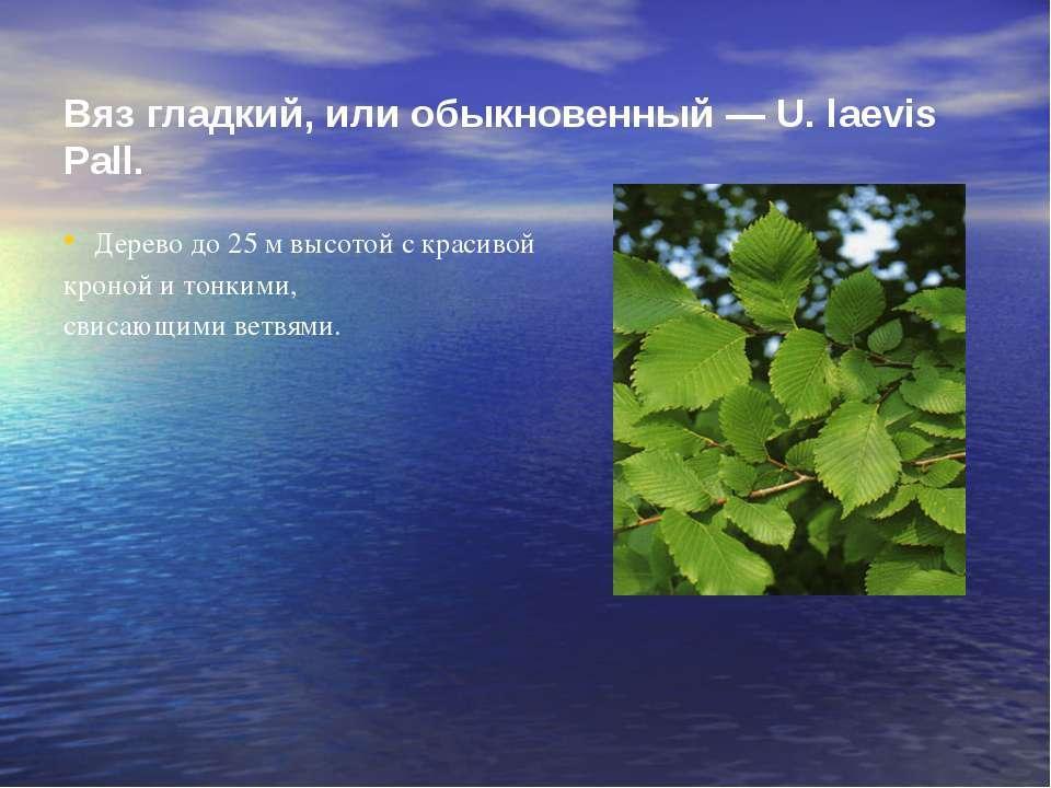 Вяз гладкий, или обыкновенный — U. laevis Pall. Дерево до 25 м высотой с крас...