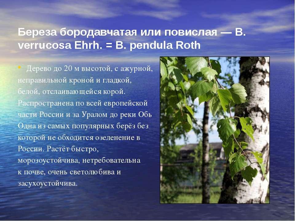Береза бородавчатая или повислая — В. verrucosa Ehrh. = В. pendula Roth Дерев...