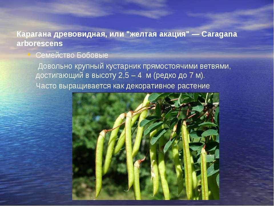 """Карагана древовидная, или """"желтая акация"""" — Caragana arborescens Семейство ..."""