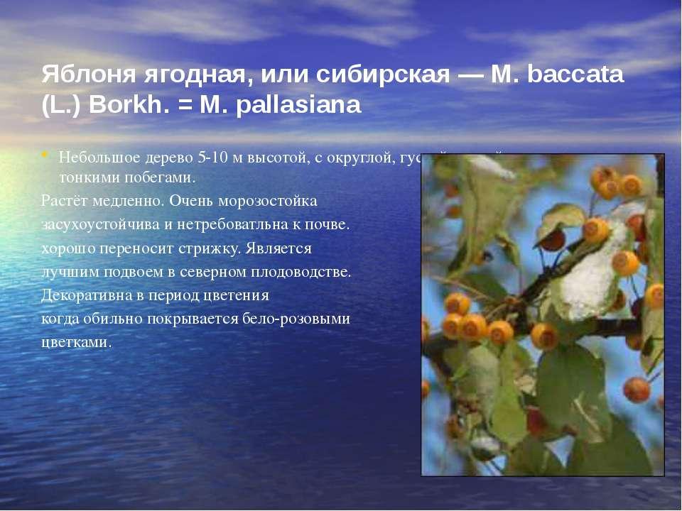Яблоня ягодная, или сибирская — М. baccata (L.) Borkh. = М. pallasiana Неболь...