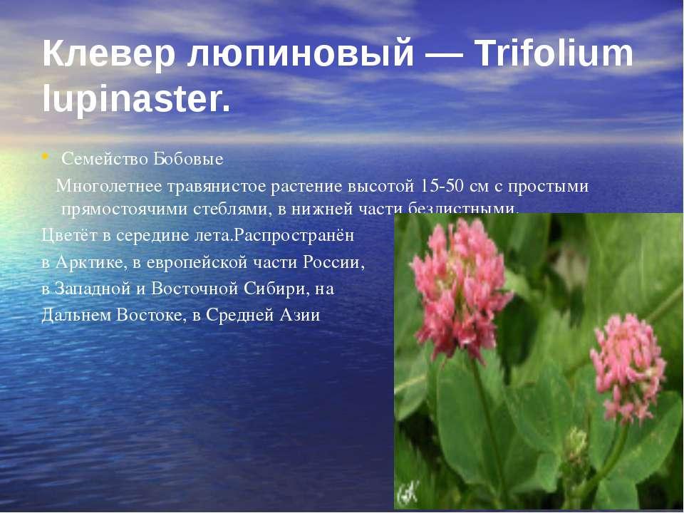 Клевер люпиновый — Trifolium lupinaster. Семейство Бобовые Многолетнее травян...