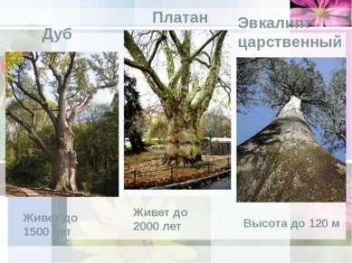 Платан Дуб Живет до 1500 лет Живет до 2000 лет Эвкалипт царственный Высота до...