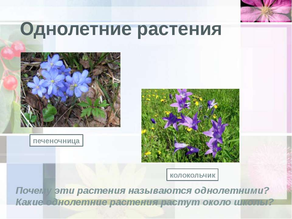 Однолетние растения печеночница колокольчик Почему эти растения называются од...