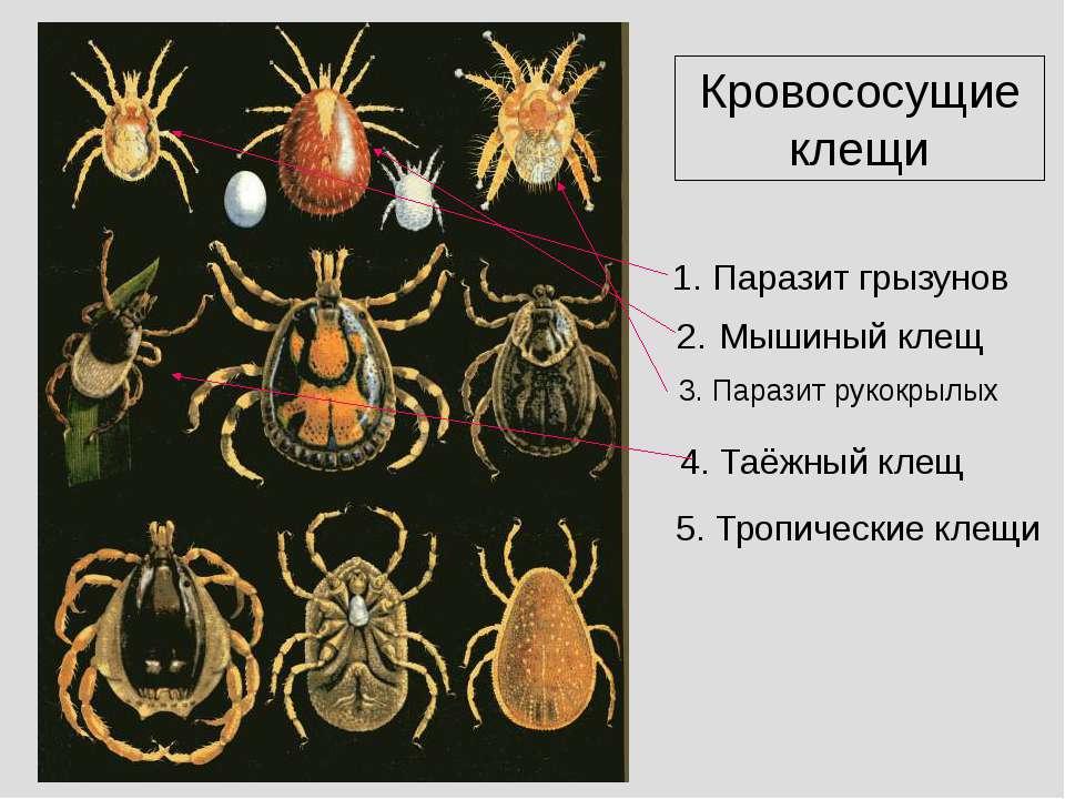 Кровососущие клещи Паразит грызунов 2. Мышиный клещ 3. Паразит рукокрылых 4. ...