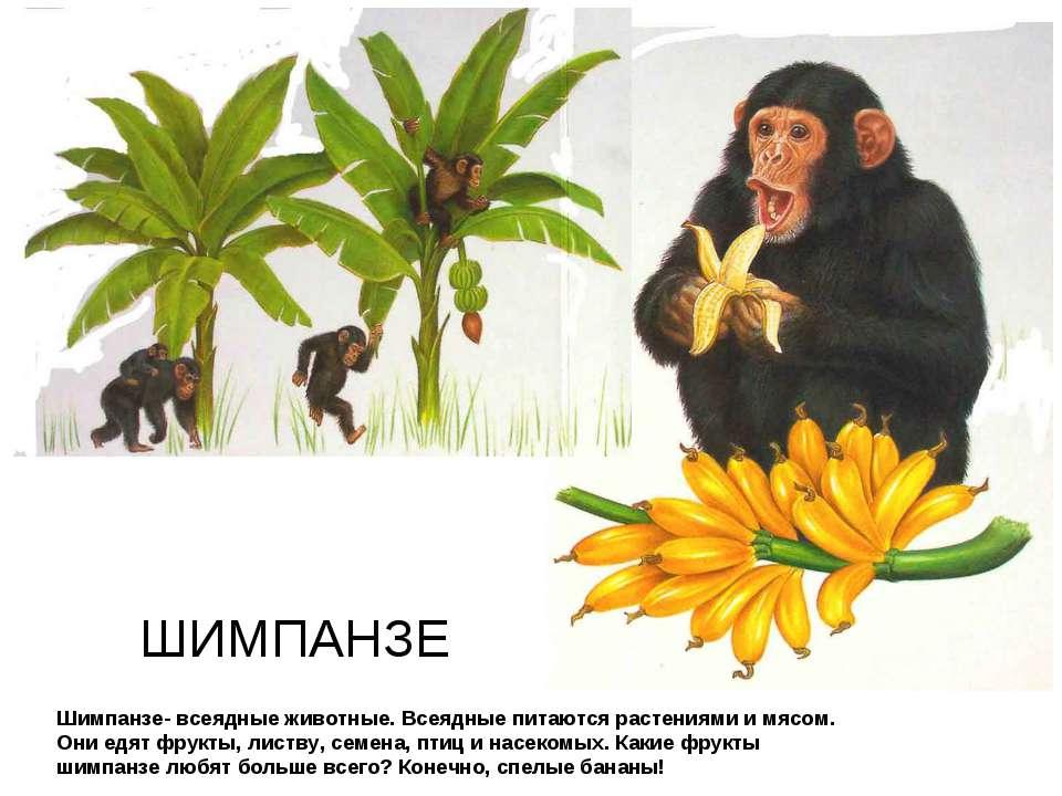 Шимпанзе- всеядные животные. Всеядные питаются растениями и мясом. Они едят ф...