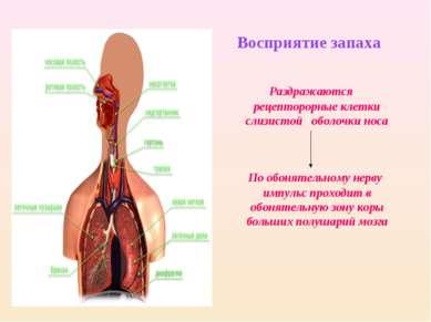 Восприятие запаха Раздражаются рецепторорные клетки слизистой оболочки носа П...