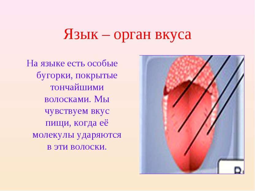 Язык – орган вкуса На языке есть особые бугорки, покрытые тончайшими волоскам...