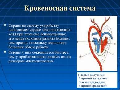 Кровеносная система Сердце по своему устройству напоминает сердце млекопитающ...