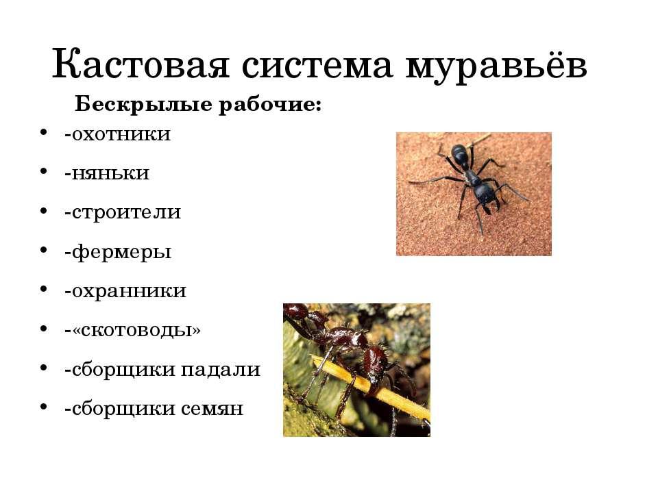 Кастовая система муравьёв -охотники -няньки -строители -фермеры -охранники -«...