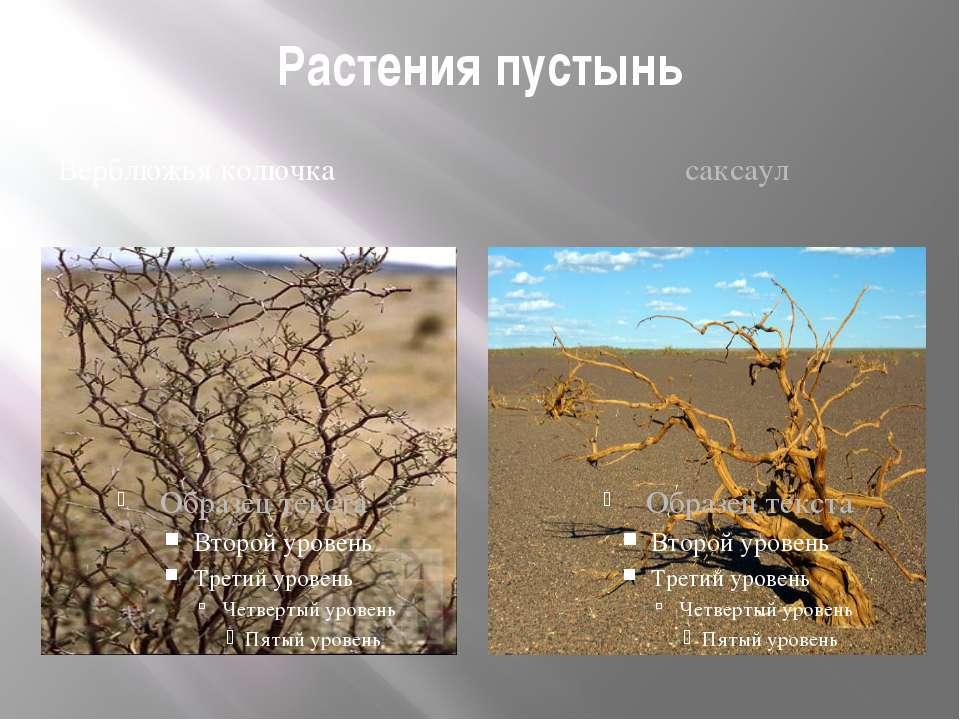 Растения пустынь Верблюжья колючка саксаул