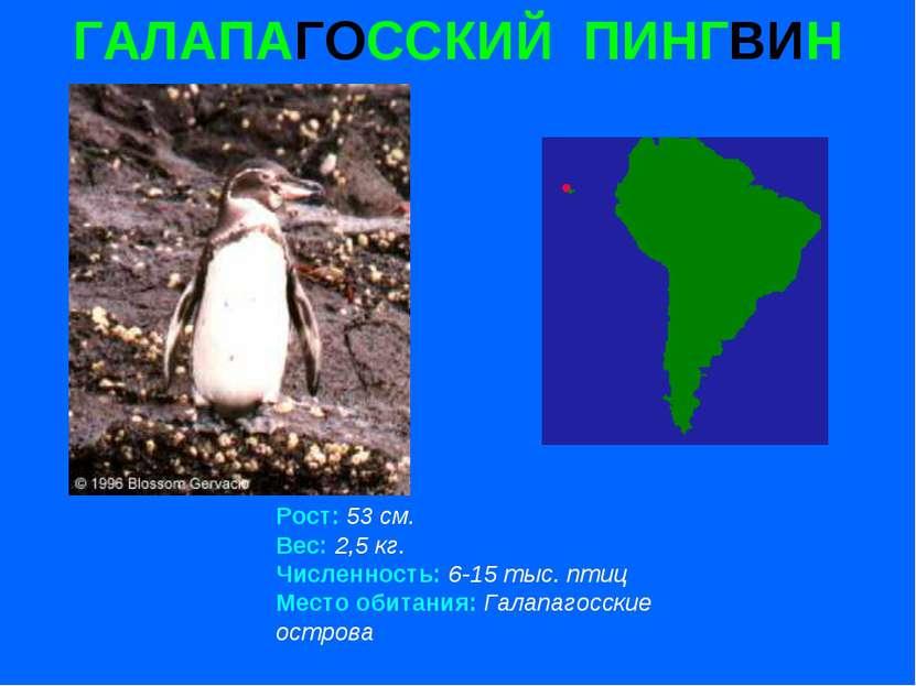 ГАЛАПАГОССКИЙ ПИНГВИН Рост: 53 см. Вес: 2,5 кг. Численность: 6-15 тыс. птиц М...