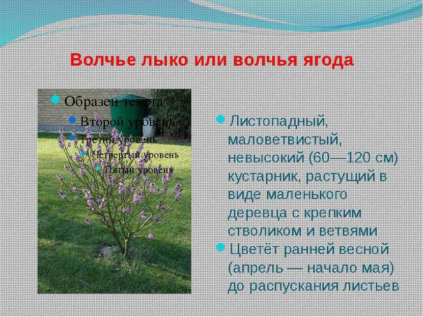 Волчье лыко или волчья ягода Листопадный, маловетвистый, невысокий (60—120 см...