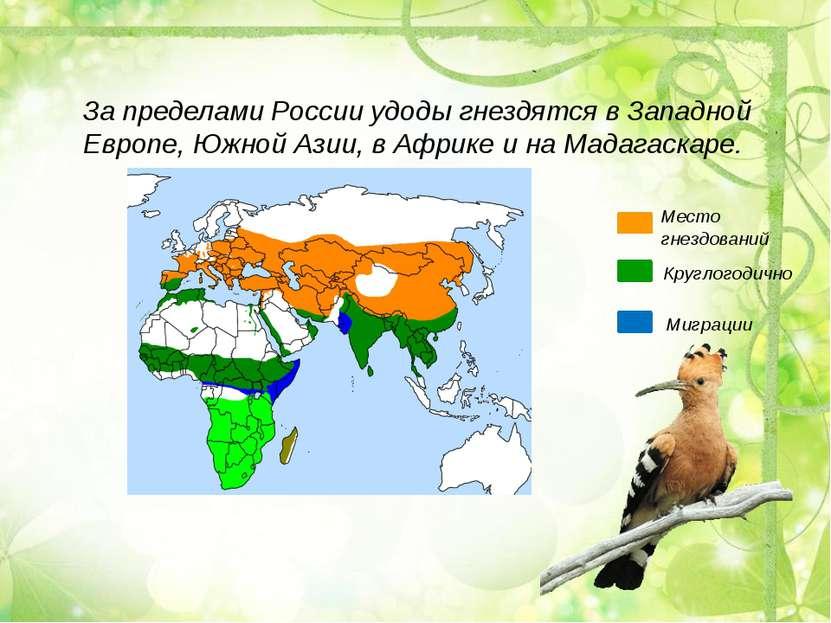 За пределами России удоды гнездятся в Западной Европе, Южной Азии, в Африке и...