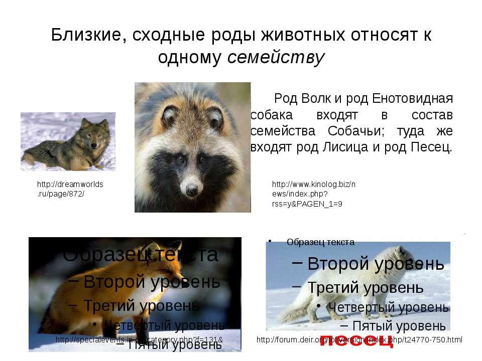 Близкие, сходные роды животных относят к одному семейству Род Волк и род Енот...