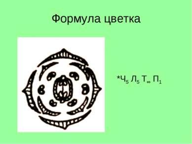 Формула цветка *Ч5 Л5 Т∞ П1