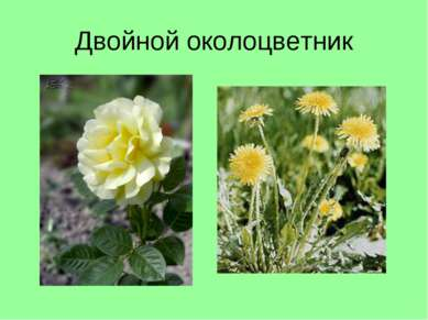 Двойной околоцветник