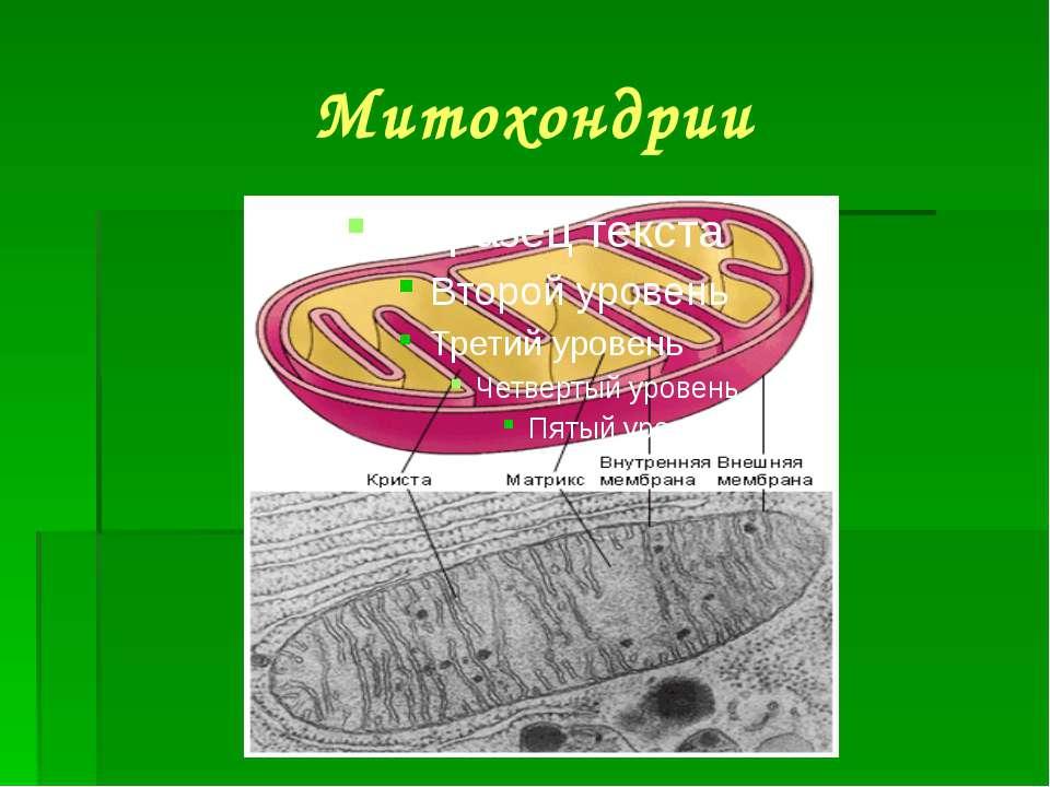 Митохондрии