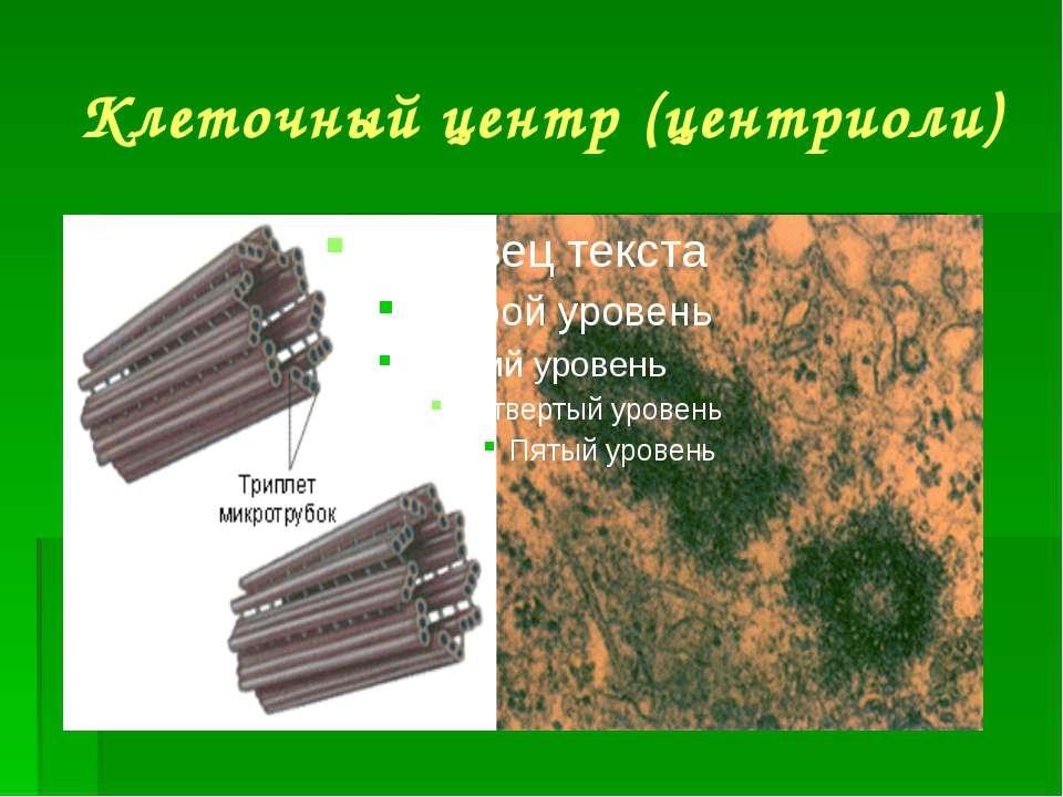 Клеточный центр (центриоли)