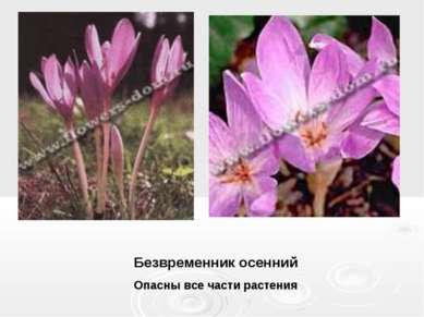Безвременник осенний Опасны все части растения
