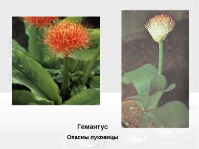 Гемантус Опасны луковицы