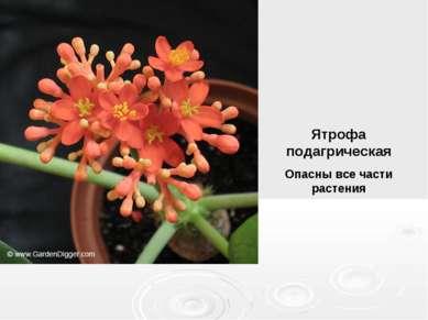 Ятрофа подагрическая Опасны все части растения