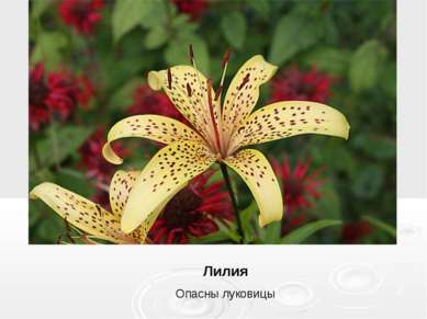 Лилия Опасны луковицы